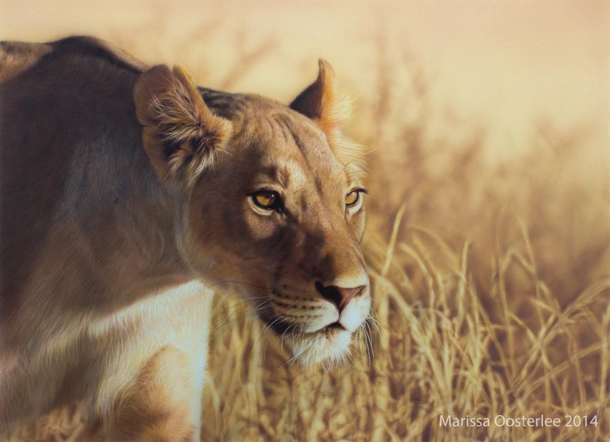 Lioness, Belgium